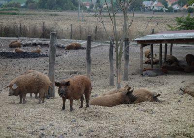 állattartó telep 3