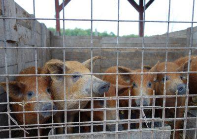 állattartó telep 4